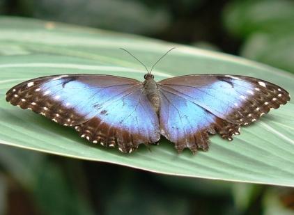 blue morpho10