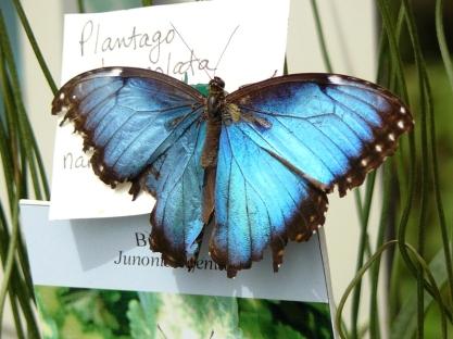 blue morpho2