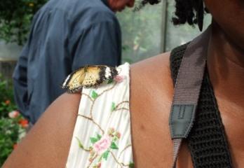 CSE leopard lacewing