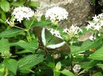 emerald swallowtail4