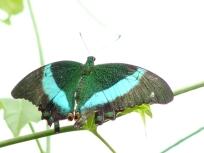 emerald swallowtail5