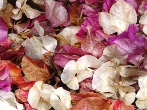 old bougainvillea